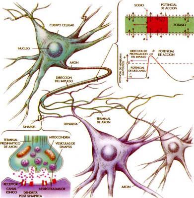 20071202212115-3-funcionamiento-neuronal.jpg